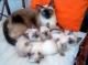 vendo-adorables-y-tiernos-gatitos-siameses-de-ojitos