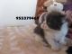 Vendo-cachorritos-de-gatos-persa-de-2-meses