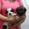 Vendo-cachorritos-Maltez-de-un-mes-y-medio