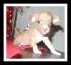Vendo-cachorrita-chihuahua-2-meses-y-medio-L