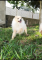 Hermoso-cachorro-pomeranian-enano-macho-de-4-meses