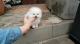 Preciosos-cachorros-de-Pomerania-para-adopcion-por-favor
