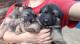 Vendo-tres-hermosos-cachorros-pastor-de-alem�-n-2