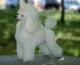HERMOSOS-CACHORROS-CANICHES-TOY-(POODLE-ENANOS)-Hermosos-cachorritos