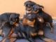 Cachorros-pinscher-talla-cero-mini-toy-de-buena