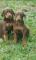 Cachorros-Doberman