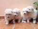 Cachorros-de-Samoyedo-Adorables-cachorros-de-nueve-semanas