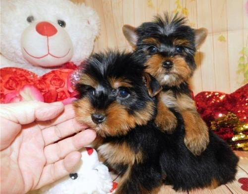 Yorkies disponibles Beach Yorkies disponibles - Imagen 1