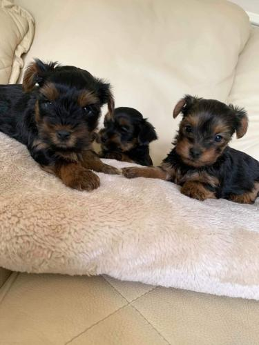 We have three Yorkie text messages registered - Imagen 2